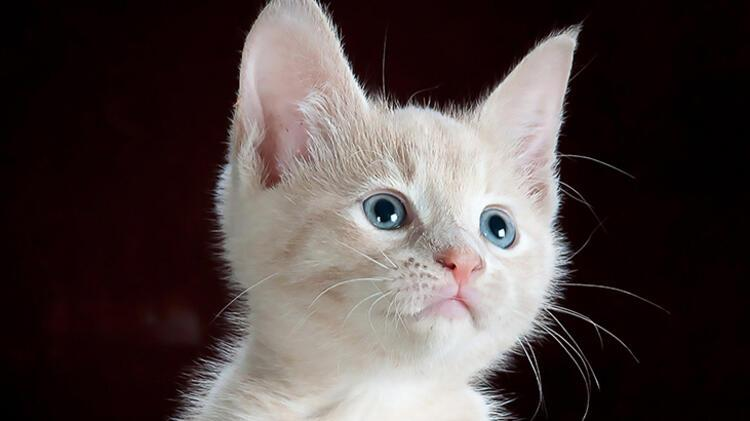 2. Kedi