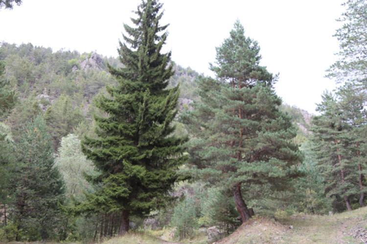 Bir ağaçta en fazla 300-400 gram oluyor