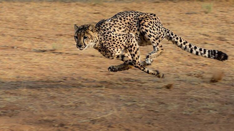 Çita: