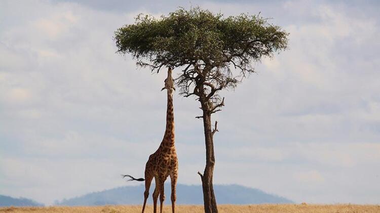Zürafa: