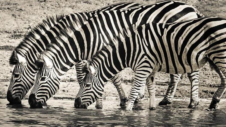 Zebra:
