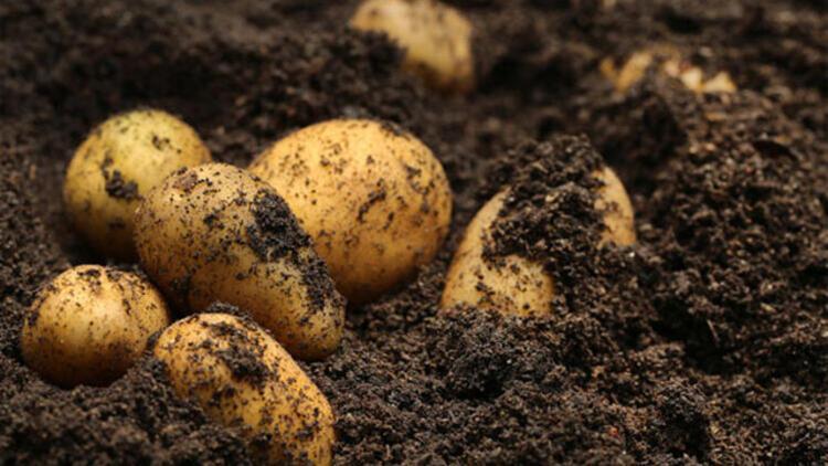 47. Patates