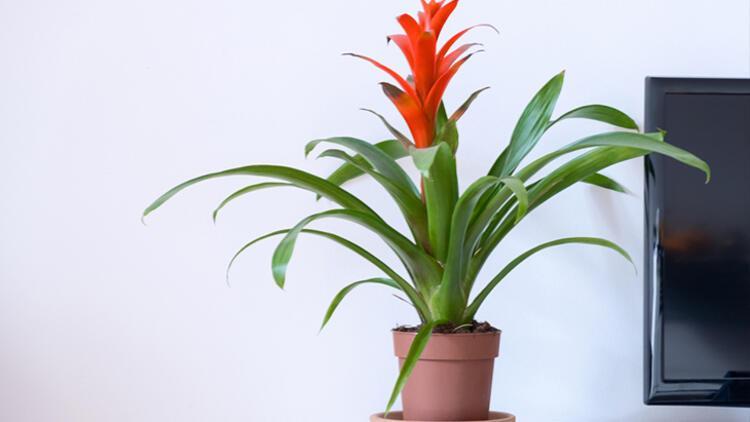 10. Bromelyad (Bromeliad)