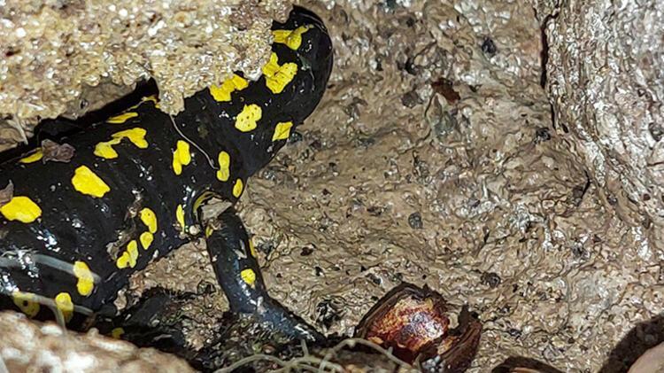 Son dakika haberi... Tunceli'de görüntülendi! Siyah parlak renkli semender... 1 – 60a65f515542813fb8cb96e5