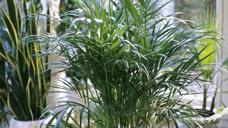 4. Areka palmiyesi
