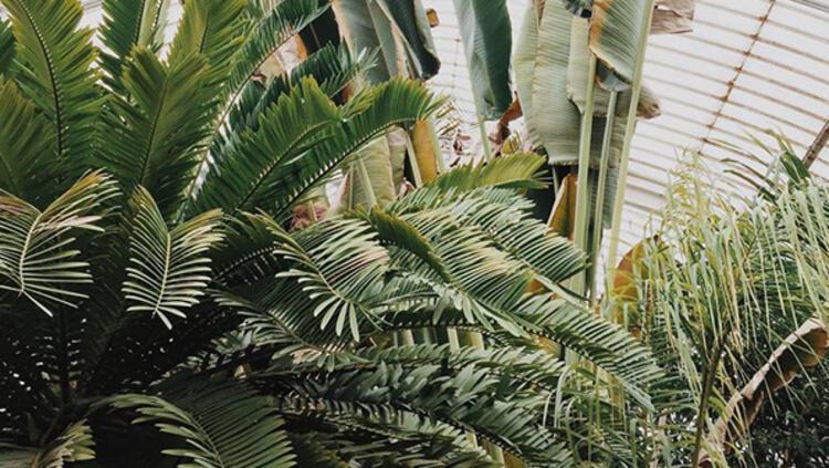 9. Palmiye bitkisi