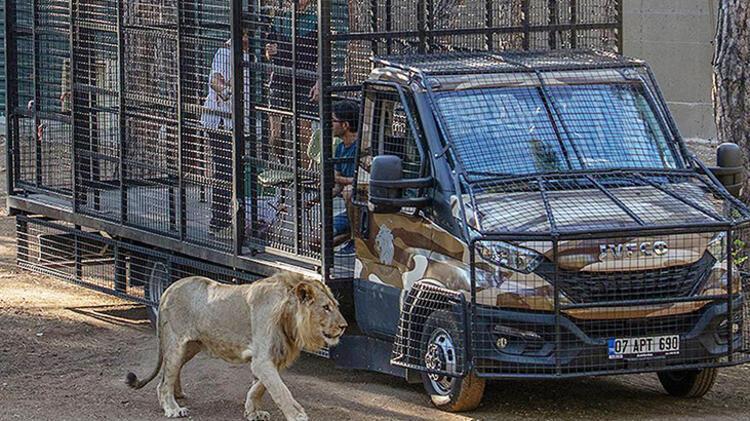Bu görüntüler Antalyadan Telli kamyonetle aslan safarisine tepki