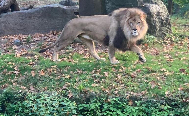 Kendini aslanların önüne attı
