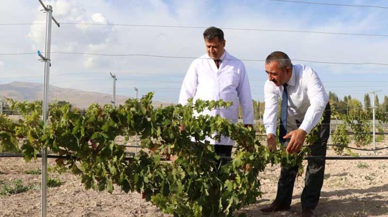 Yerel üzüm çeşitleri Üzüm Koleksiyon Bağında korunacak