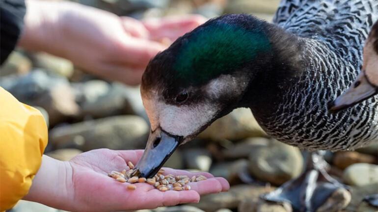 Ördeklerin az bilinen özellikleri - Kaç yıl yaşarlar, uçabilirler mi