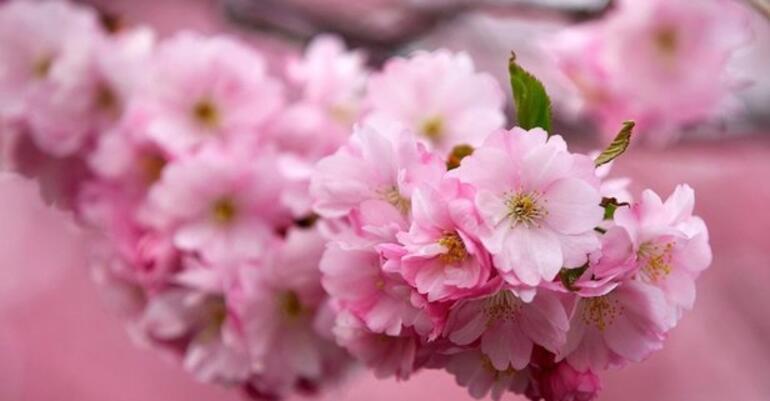 Başakşehir Şehir Hastanesi ismi nedir Çam ve Sakura nedir