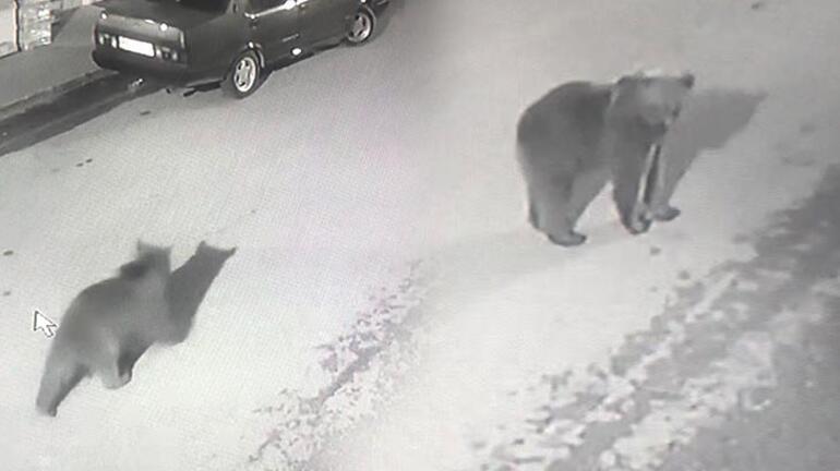 Artvinde sokaklarda dolaşan boz ayı ilçenin maskotu oldu