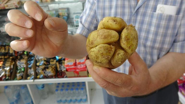 Mersinde yumruk şeklindeki patates görenleri şaşırtıyor