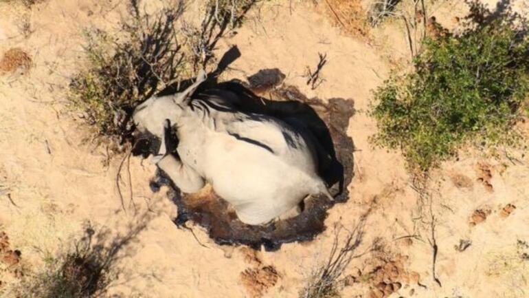 Botsvanada toplam 350 fil gizemli bir şekilde öldü