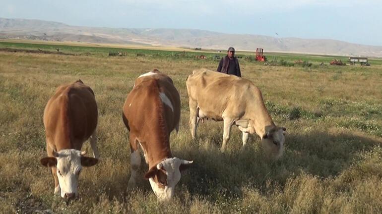Muşta damızlık boğa sürüdeki ineklerin sütünü emdi