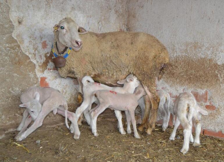 Manisalı çiftçi yeni doğan kuzularına maske, mesafe ve hijyen isimlerini verdi