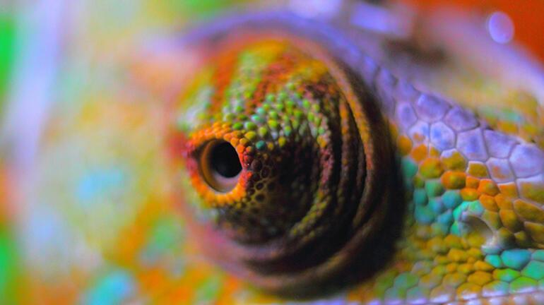 Bukalemunların renkli dünyası