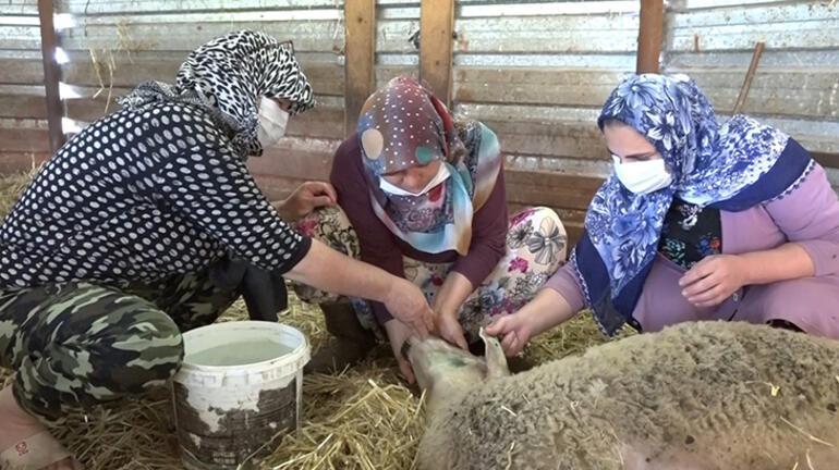 18 koyunun aniden fenalaşıp ölmesiyle şaşkına döndüler