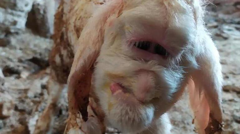 Farklı yüz yapısıyla doğan kuzu 2 gün yaşayabildi