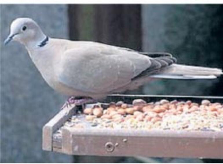 Bir acayip kuş tartışması