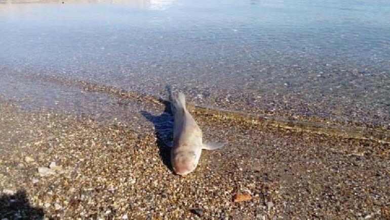 Bodrumda sahile ölü köpek balığı vurdu