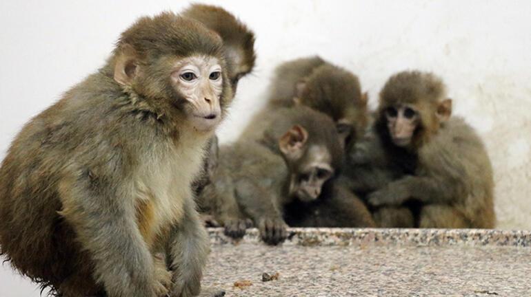 Sınırda 12 maymun Ekipler fark edince harekete geçti