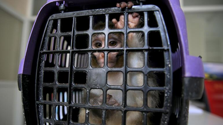 Kırklarelinde bakımı yasak maymun koruma altına alındı