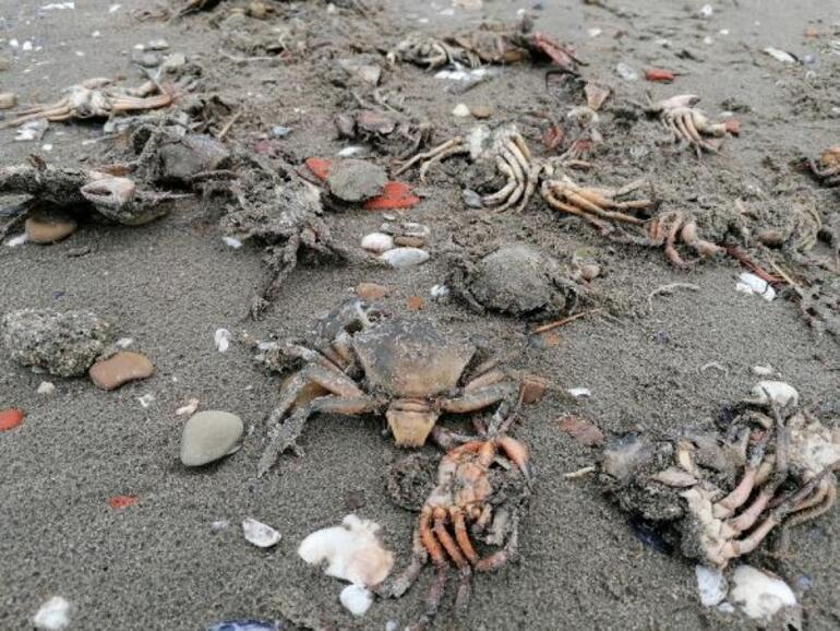 Silivride korkutan görüntü Sahile onlarca ölü yengeç vurdu