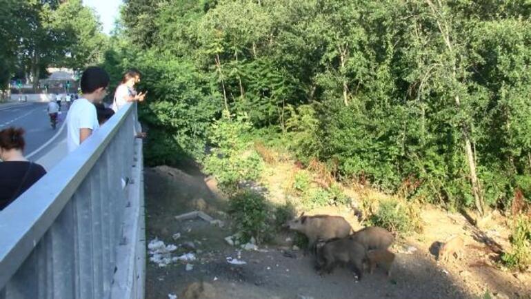 İstanbulun göbeğinde domuz sürüsü Sayıları yüzü buldu