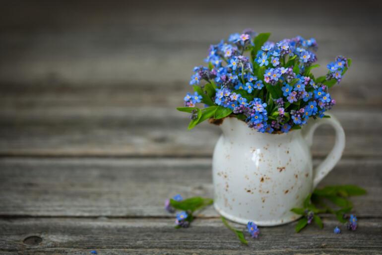 Unutmabeni Çiçeği Hikayesi ve Anlamı Nedir Unutmabeni Çiçeği Nasıl Yetiştirilir