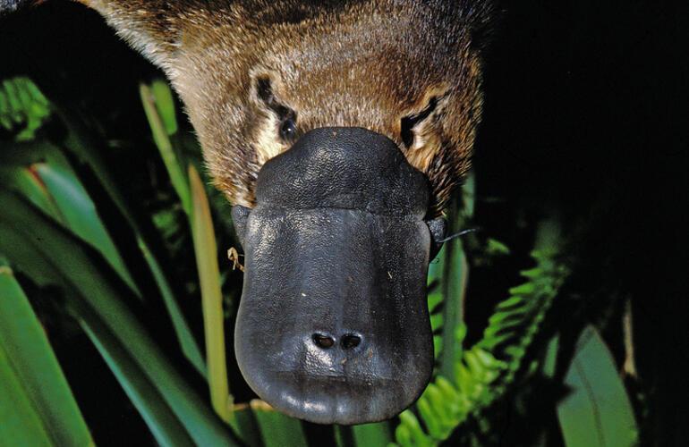 Ornitorenk (Platypus) Nedir Ornitorenk Nerede Yaşar, Özellikleri Nelerdir