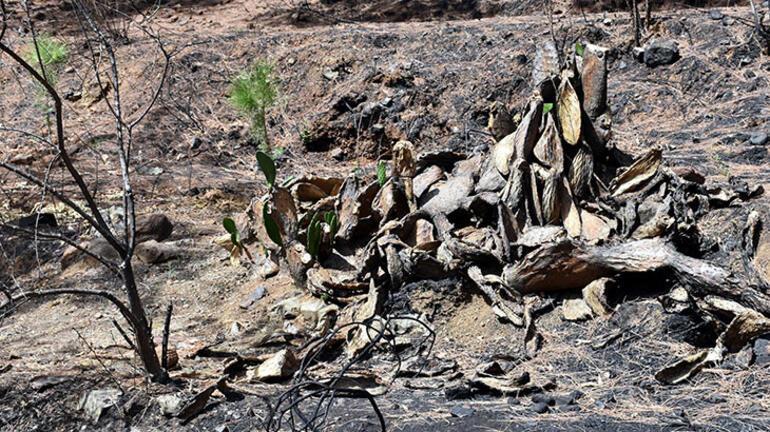 Marmariste yanan ormanlar yeniden yeşeriyor